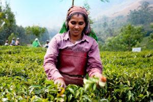 ortte grøn te